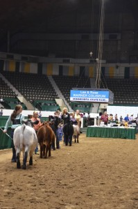 The show ring shows a class of Shorthorn plus heifer calves being exhibited